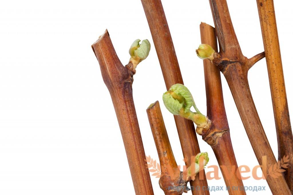 Посадка винограда осенью саженцами и черенками, видео и фото