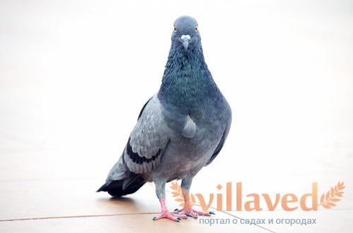 Разведение и содержание голубей