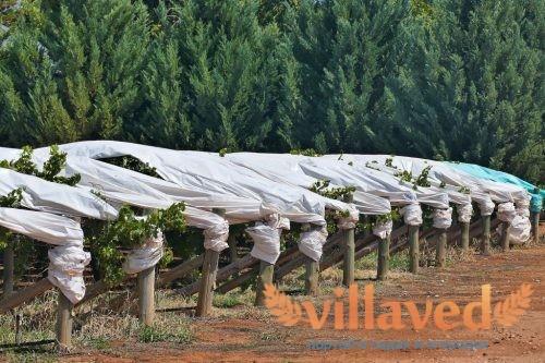 Укрытие винограда на зиму агроволокном