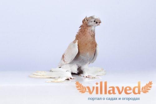 Узбекские бойные голуби