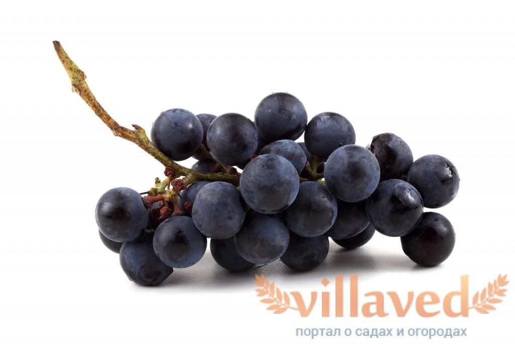 Виноград Черный Доктор (Кефесия)