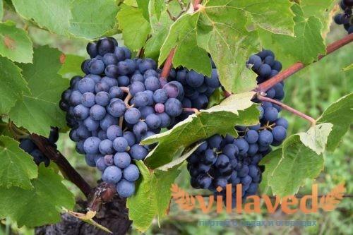 Туз Бордо новейший гибридный сорт винограда