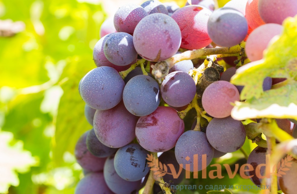 Мускат красный сорт винограда