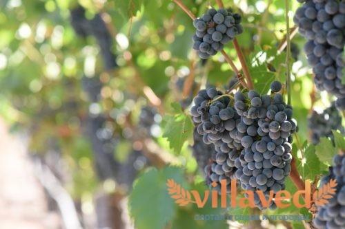 Виноград Один
