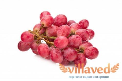 Виноград София: описание сорта, особенности выращивания и ...