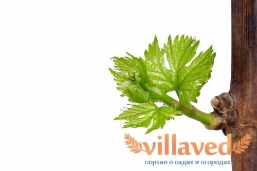 Выращивание черенков винограда зимой