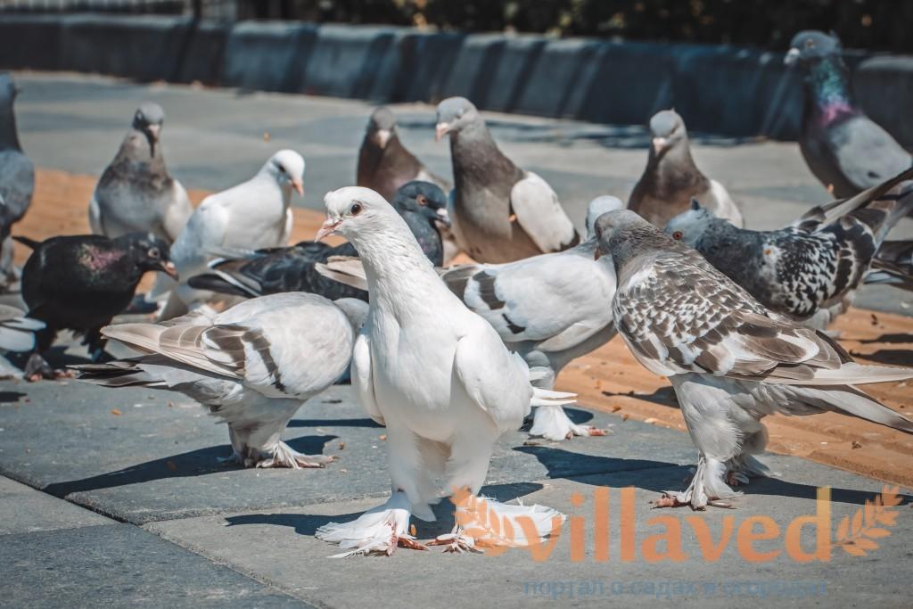Благодарненские голуби: бойная порода, описание, фото
