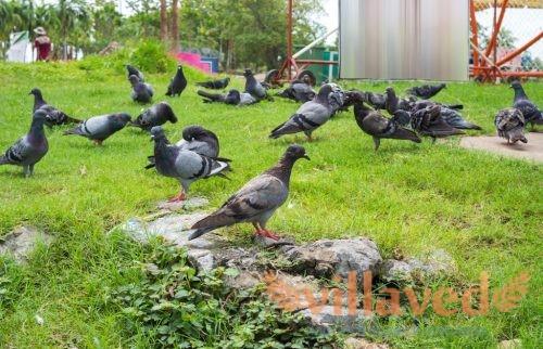 Чем отравить голубей