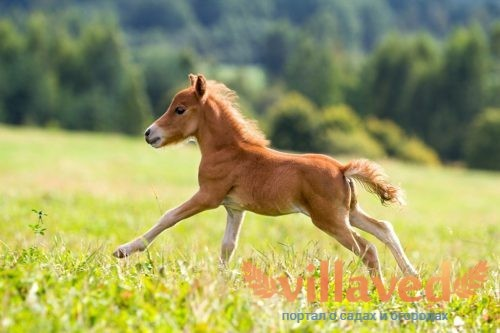 Лошадь Фалабелла
