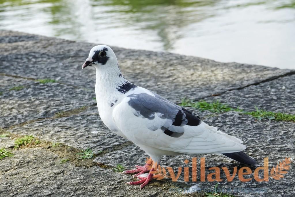 Блог о голубях: Пермские голуби