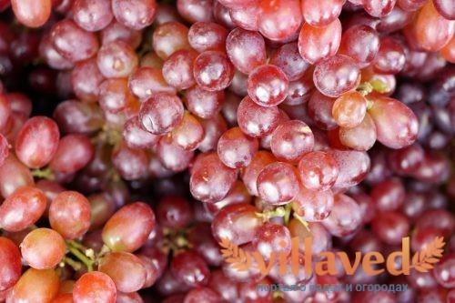Винограда Гурман ранний