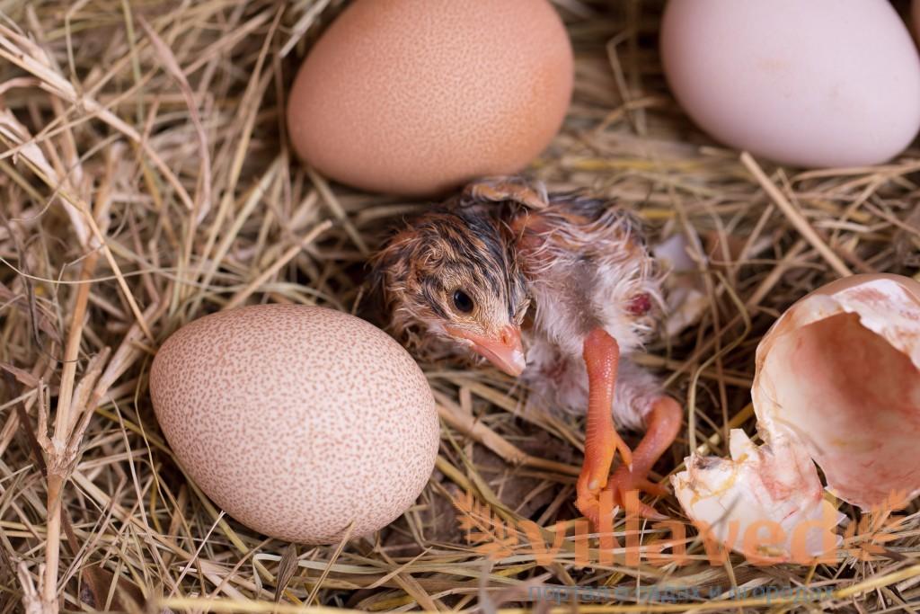 Инкубация цесариных яиц: описание, режим, таблица