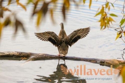 Как подрезать крылья уткам