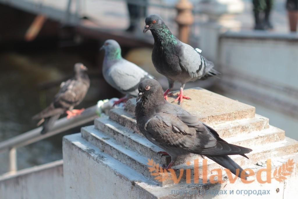 Как и каким способом поймать голубя