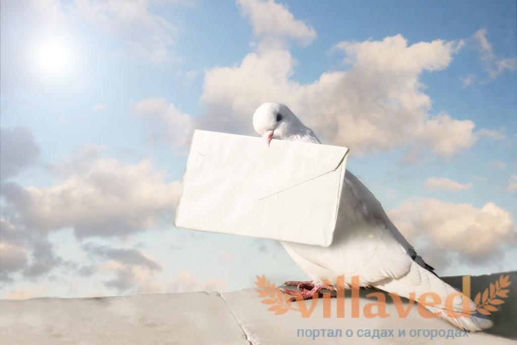 Картинки по запросу голубиная почта