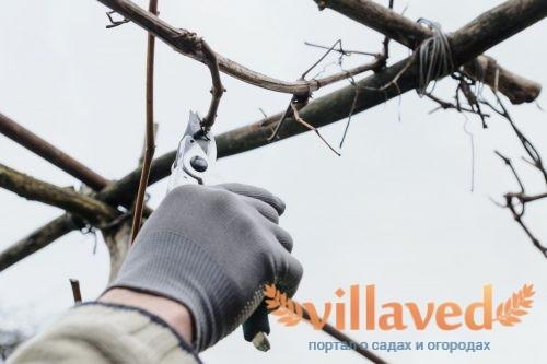 Как сохранить черенок винограда до весны