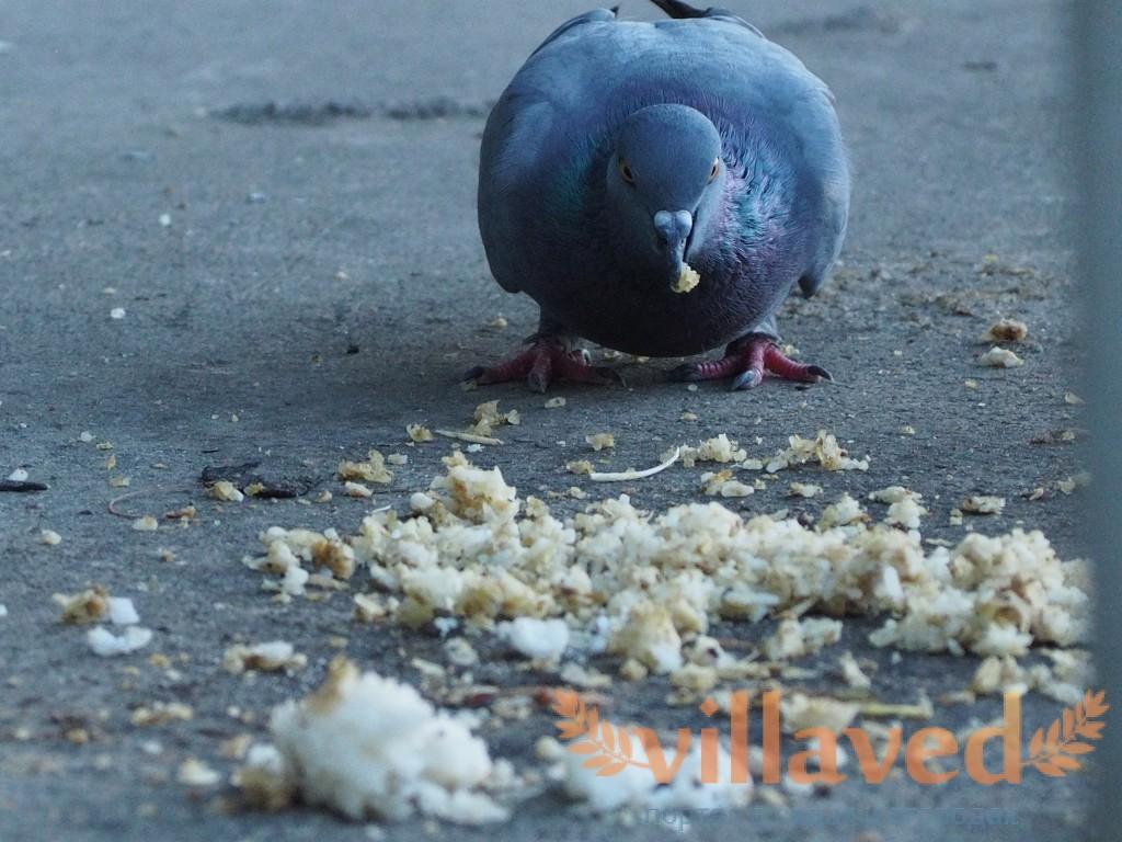 Кокцидиоз у голубей: описание, симптомы и лечение