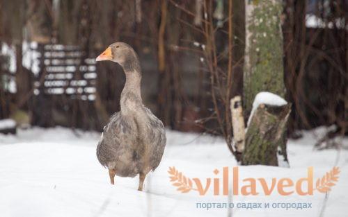 Кормление и содержание гусей зимой