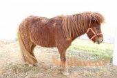 Карликовая мини лошадь