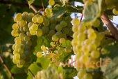 Московский Белый Виноград