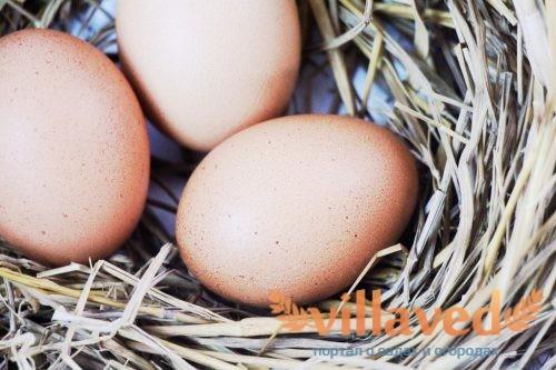 Может ли курица нести яйца без петуха