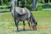 Мышастый конь