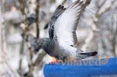 Нифулин форте для птиц и голубей