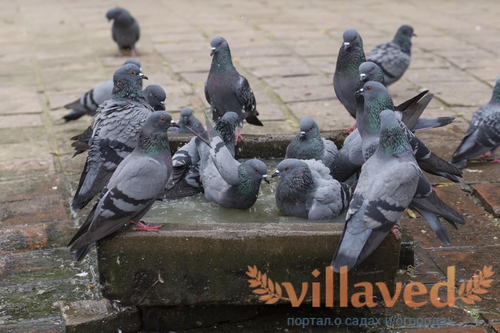 если орнитоз у голубя как узнать