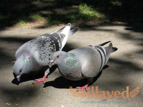 Оспа у голубей