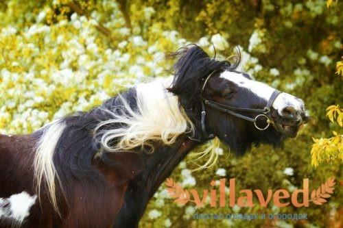 Лошади породы пинто