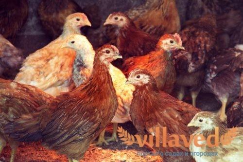 Почему цыплята и куры падают на ноги