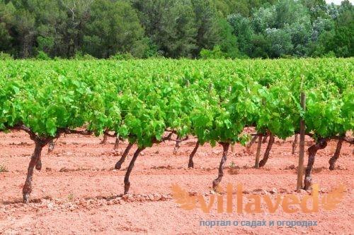 Расстояние между кустами винограда при посадке