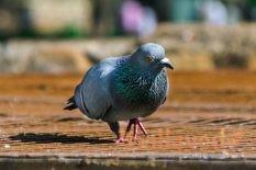Родотиум для голубей