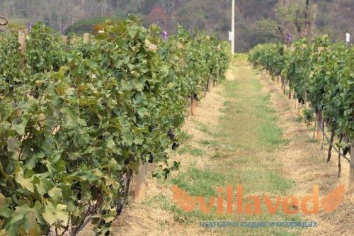 Виноград джони описание сорта фото