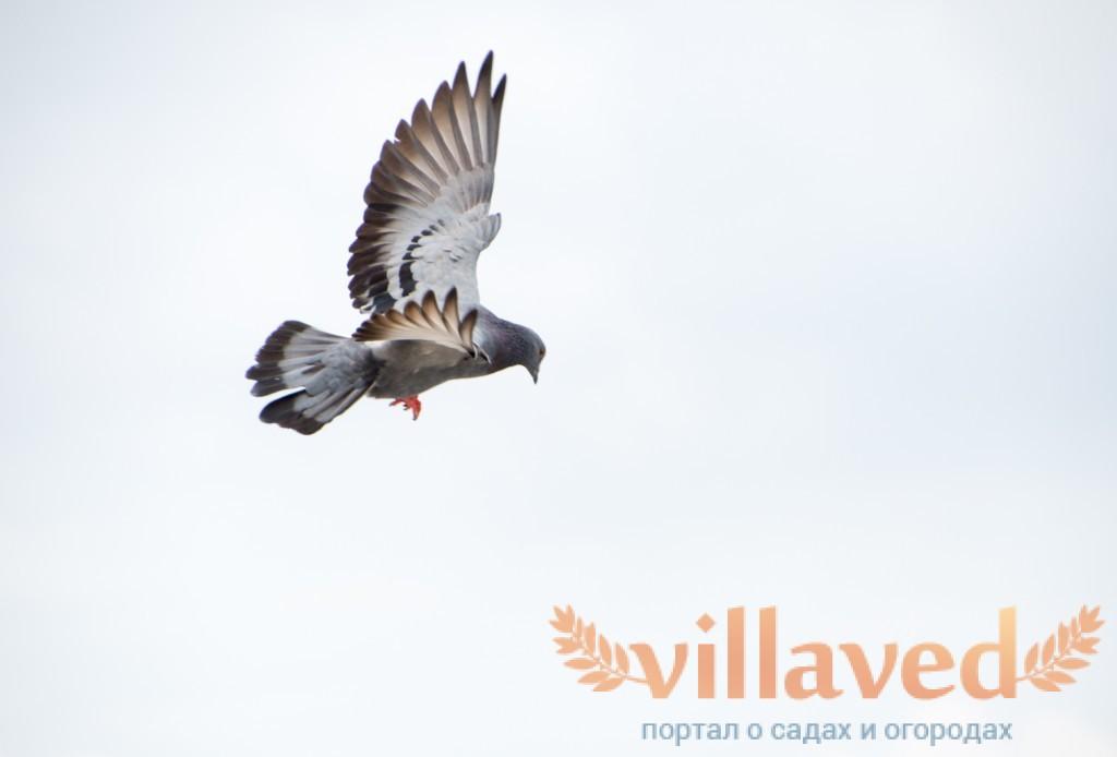 Чем торцовые голуби отличаются от остальных