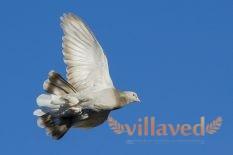 Турецкие голуби Такла
