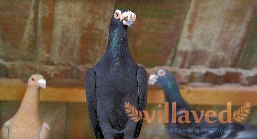 Венгерские голуби