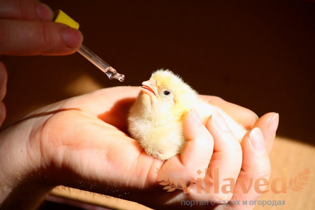Использование растворимых в воде витаминов для цыплят бройлеров