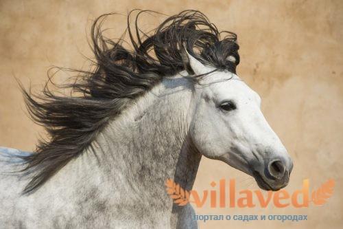 Андалузская порода лошадей