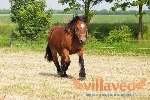 Арденская лошадь