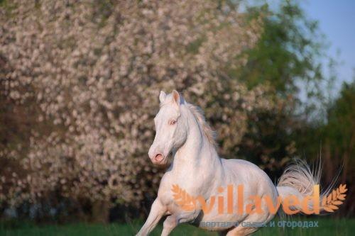 Изабелловая масть лошади