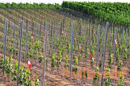 Как посадить виноград летом