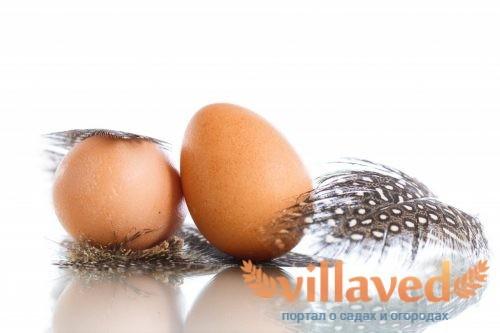 Когда цесарки начинают нести яйца