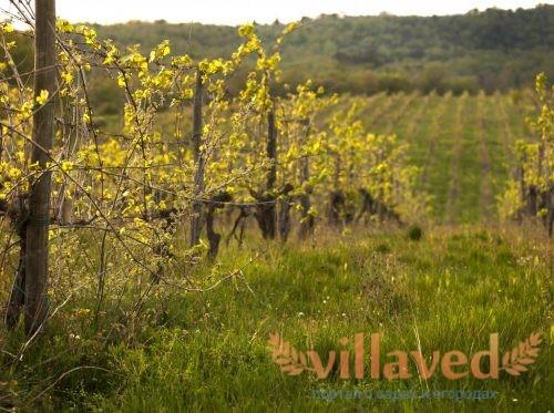 Когда посадить виноград в Сибири