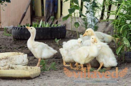 Кормушки для гусей