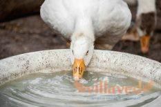 Поилки для гусей