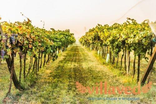 Посадка винограда в средней полосе