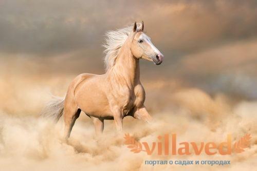Соловая масть лошади