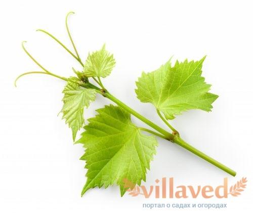 Удаление пасынков у винограда