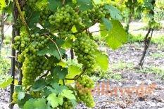 Укрытие винограда пленкой